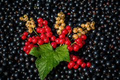 Red and white or yellow currant Stock Images