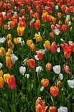 Red white yellow tulips in bloom Royalty Free Stock Images