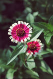 Red with white zinnia in the garden close up selective focus Royalty Free Stock Photo