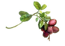 Red whortleberry branch with leaves and berries. Watercolor Royalty Free Stock Images