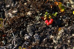 Red whortleberry (cowberry). Russian North. Russian Lapland. Arctic nature Royalty Free Stock Image