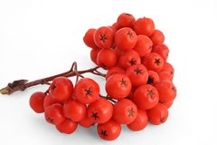 Red wild berries Royalty Free Stock Photo
