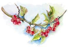 Red wild berries Stock Photo