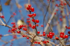 Red wild berries close-up Stock Photos