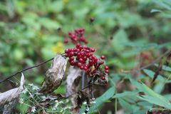 Red wild berries. Resting on a tree branch in the woods Royalty Free Stock Photography