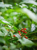 Red wild berries. Tree in green forest Royalty Free Stock Images