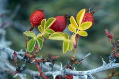 Red wild berries in winter, close-up Royalty Free Stock Image
