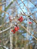 Red wild berries in winter Stock Image