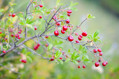 Red wild cherry Royalty Free Stock Images