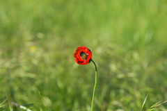Red wild flower closeup on background meadow Royalty Free Stock Photography