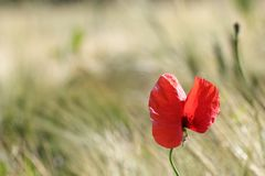 Red wild flower in the field Royalty Free Stock Photo