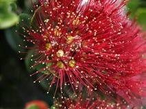 Red wild flower macro Royalty Free Stock Photos