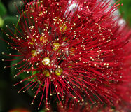 Red wild flower macro Royalty Free Stock Images