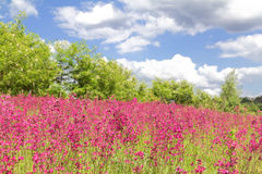 Red wild flowers and blue sky with clouds Royalty Free Stock Image