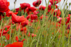 Red wild flowers with buds in the green field Royalty Free Stock Photography