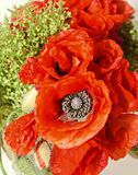 Red wild flowers of Papaver rhoeas bouquet, corn field poppy Stock Photos