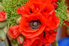 Red wild flowers of Papaver rhoeas bouquet, corn field poppy Stock Images