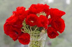 Red wild flowers of Papaver rhoeas, corn field poppy with buds,. Close up Royalty Free Stock Image