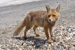 Red wild fox Vulpes standing on the stoned road, Hoya de la Mora, wildlife of Spain. Red wild fox Vulpes standing on the stoned road, sunny weather and shadow of Stock Image