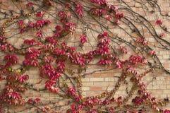 Red wild grape Royalty Free Stock Photos