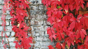 Red wild grape leaves against an old brick wall, autumn 2016 Stock Photo