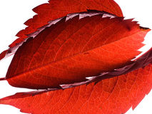 Red wild grape leaves on white Royalty Free Stock Images