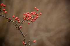 Red wild hawthorn berries on the branches in the forest. Red wild hawthorn berries on the bare tree branches in the autumn forest on the cloudy day Royalty Free Stock Photo
