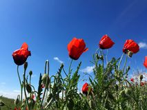 Red Wild Poppie. Wild red summer poppies in wheat field. Taken in Xinjiang,China Stock Photos