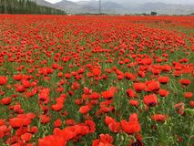 Red Wild Poppie. Wild red summer poppies in wheat field. Taken in Xinjiang,China Royalty Free Stock Photo