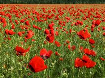 Red Wild Poppie. Wild red summer poppies in wheat field. Taken in Xinjiang,China Stock Image