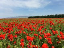 Red Wild Poppie. Wild red summer poppies in wheat field. Taken in Xinjiang,China Stock Photo