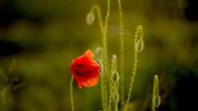 Wild poppies in wind stock footage