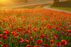 Red Wild poppies in the meadow at sunset, amazing background pho royalty free stock photos