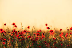 Red wild poppies and rural fields Royalty Free Stock Image