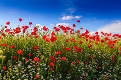 Red wild poppies and rural fields Royalty Free Stock Photos