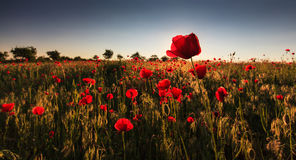 Red wild poppies and rural fields Royalty Free Stock Photography