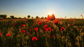 Red wild poppies and rural fields Stock Photo