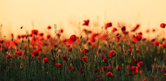 Red wild poppies and rural fields Stock Photography