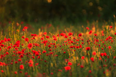 Red wild poppies and rural fields Royalty Free Stock Photo