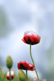 Red wild poppies Stock Photography