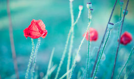 Red wild poppies Royalty Free Stock Photography