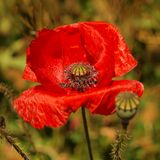 Red wild poppy after blossom poppy head lost red leaves Royalty Free Stock Photography