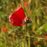 Red wild poppy after blossom poppy head lost red leaves Stock Photo