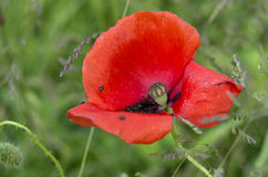 Red wild poppy closeup Royalty Free Stock Photo