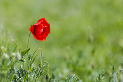 Red wild poppy Royalty Free Stock Images