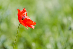 Red wild poppy Stock Photo