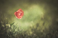 Red wild poppy. Red poppy (common names: corn poppy, corn rose, field poppy, Flanders poppy, red poppy, red weed, coquelicot) blooming on field, shallow DOF stock photo