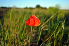 Red wild poppy flower blooming in grass meadow background, line of horizon and bright blue sky. Close up detail stock photos