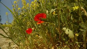 Red wild poppy flowers growing near a dirt road near the field of yellow rape, close-up. Ancient Olive Trees, a collection of landscapes in an old olive garden stock video footage