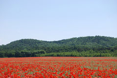 Red wild poppy panorama Stock Image